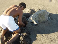 Helping Tortugas by Collecting Eggs